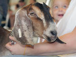 Harrison County Fair Goat Show