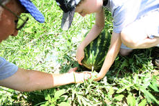 """<div class=""""source"""">Kayla Pickrell</div><div class=""""image-desc"""">Solomon and Laytart check the """"curl"""" to see if the watermelon is ripe. If the """"curl"""" is dead, the watermelon is ripe enough to pick.</div><div class=""""buy-pic""""><a href=""""http://web2.lcni5.com/cgi-bin/c2newbuyphoto.cgi?pub=081&orig=solomonone7.24.14.jpg"""" target=""""_new"""">Buy this photo</a></div>"""