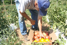 """<div class=""""source"""">Kayla Pickrell</div><div class=""""image-desc"""">Solomon gathers tomatoes and bell peppers to sell at farmers' markets. He picks his crop every other day.</div><div class=""""buy-pic""""><a href=""""http://web2.lcni5.com/cgi-bin/c2newbuyphoto.cgi?pub=081&orig=solomonseven7.24.14.jpg"""" target=""""_new"""">Buy this photo</a></div>"""