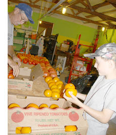 """<div class=""""source"""">Kayla Pickrell</div><div class=""""image-desc"""">Solomon and Laytart lay out tomatoes before covering them up to allow time for them to ripen.</div><div class=""""buy-pic""""><a href=""""http://web2.lcni5.com/cgi-bin/c2newbuyphoto.cgi?pub=081&orig=solomonthree7.24.14.jpg"""" target=""""_new"""">Buy this photo</a></div>"""