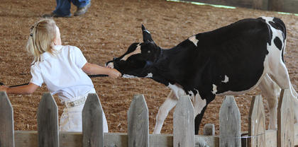 This dairy calf decided to be a little stubborn during the Dairy Cattle Show this past Wednesday morning at the Harrison County Fair.
