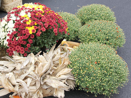 Different colors and varieties of mums were for sale.